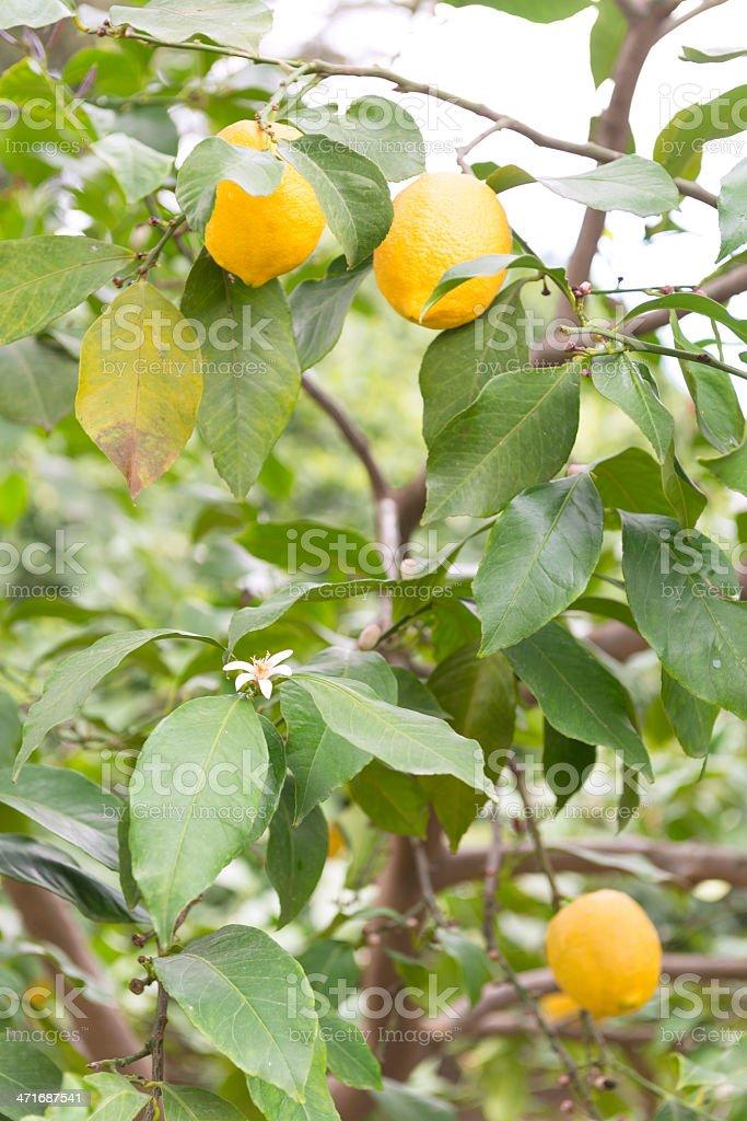 Lemon orchard royalty-free stock photo