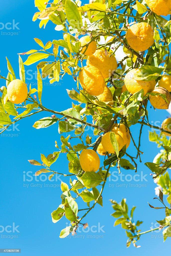 Lemon orchard stock photo