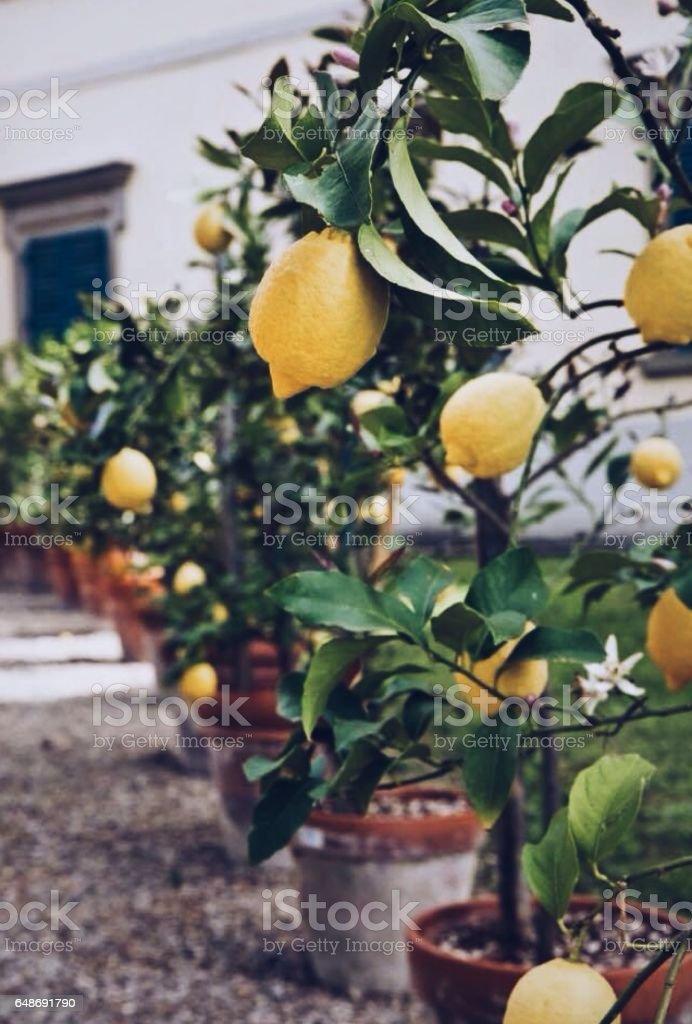 Lemon plant with Yellow sour lemon Fruit in a pot stock photo