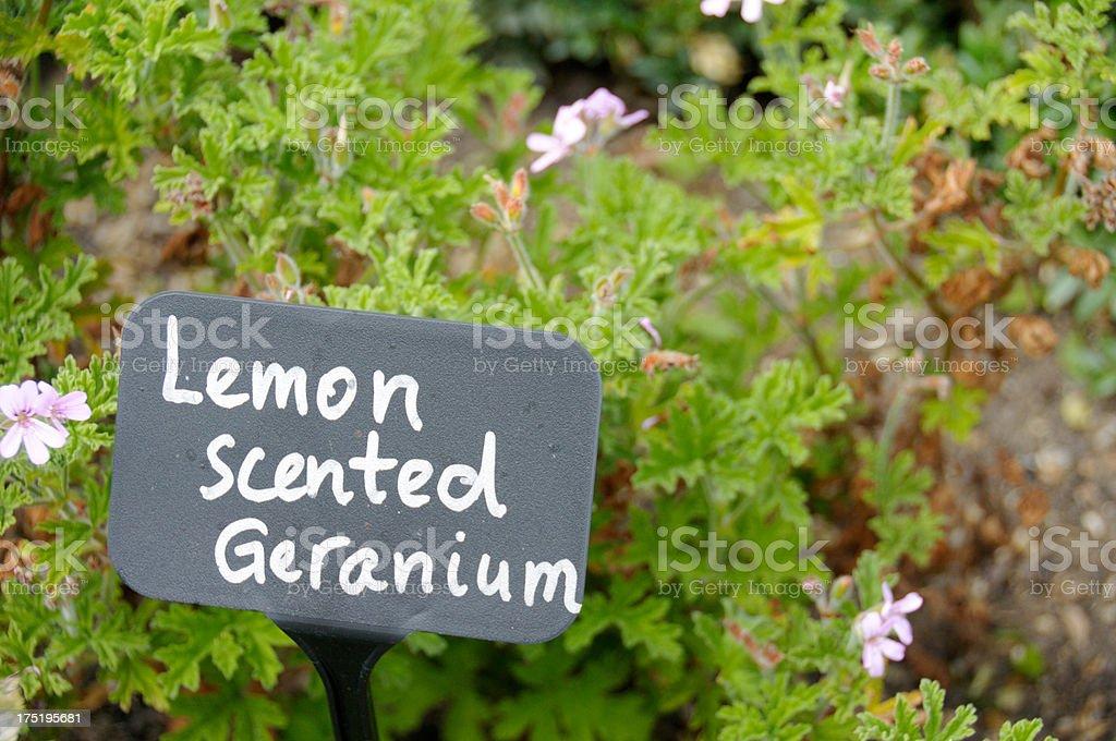 Lemon Scented Geranium stock photo