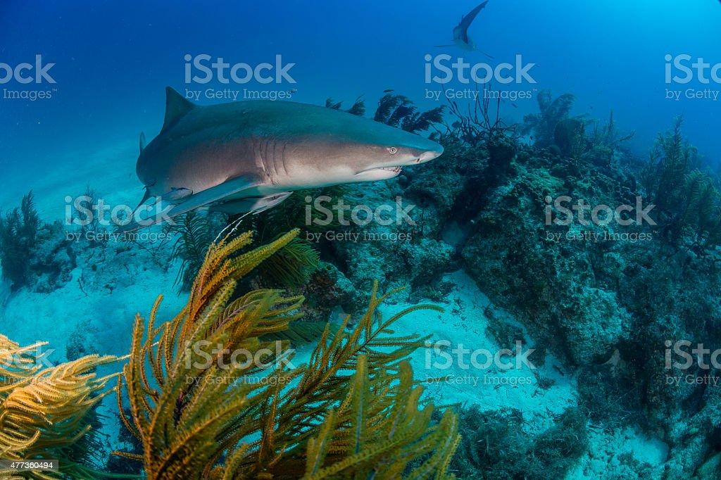 Lemon Shark and Reefs stock photo
