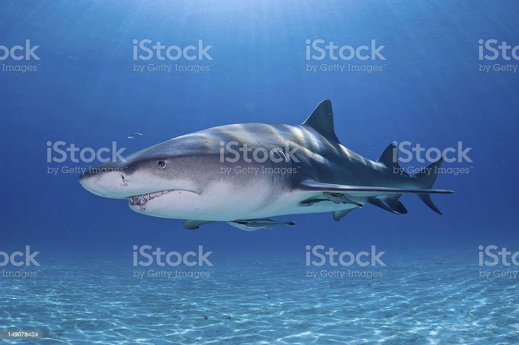 Lemon Shark and Sunrays stock photo