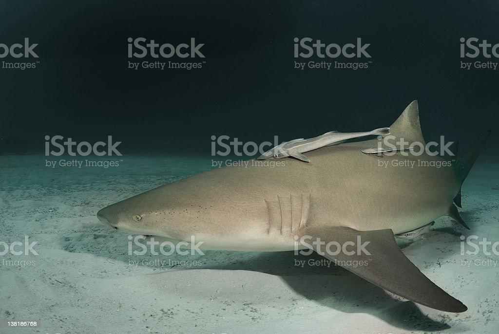 Lemon Shark at Dusk stock photo