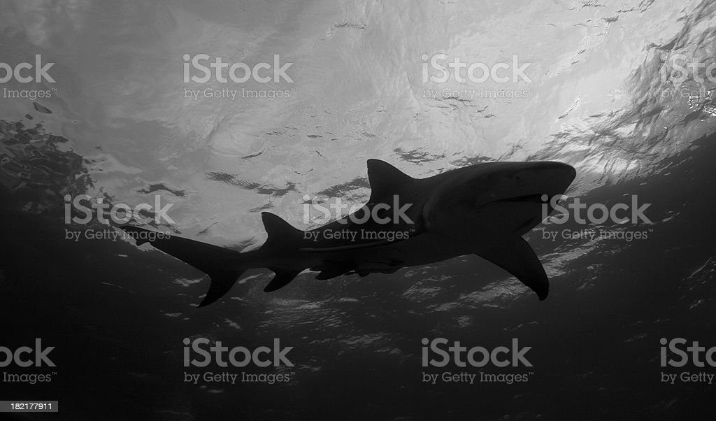 Lemon Shark B&W stock photo