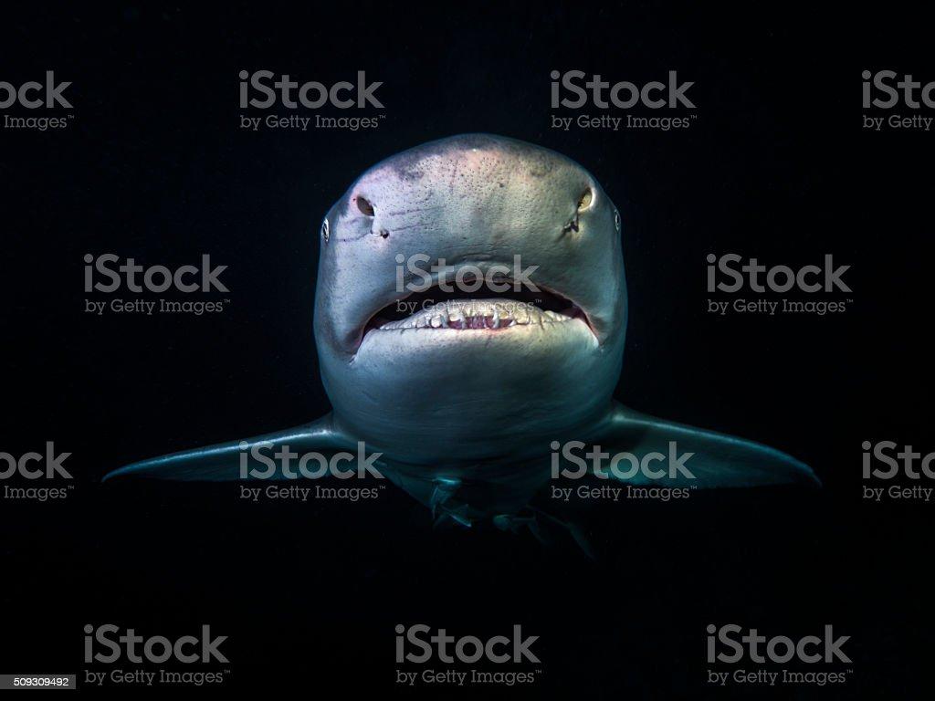 Lemon Shark stock photo