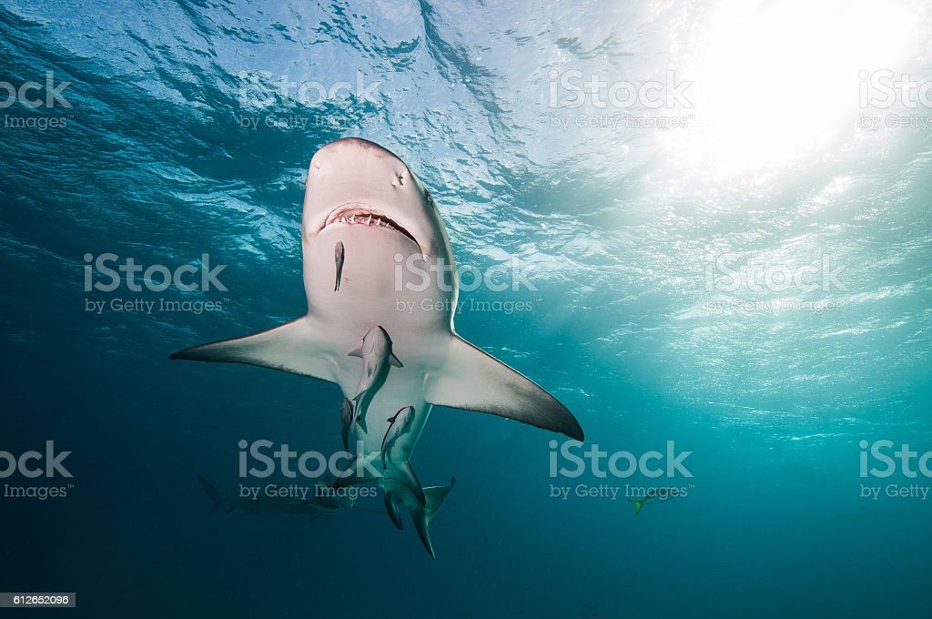 Lemon shark swimming overhead stock photo