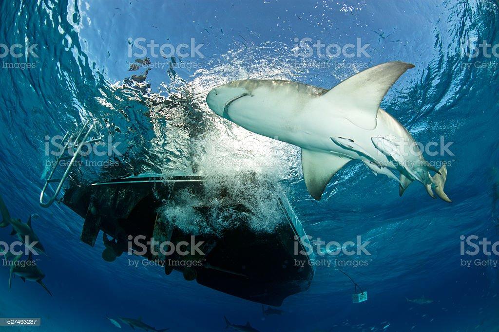 Lemon Shark Under the boat stock photo