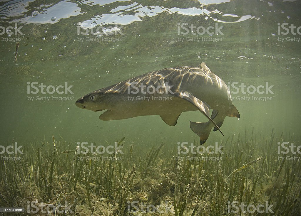 Lemon shark underwater with mouth open stock photo
