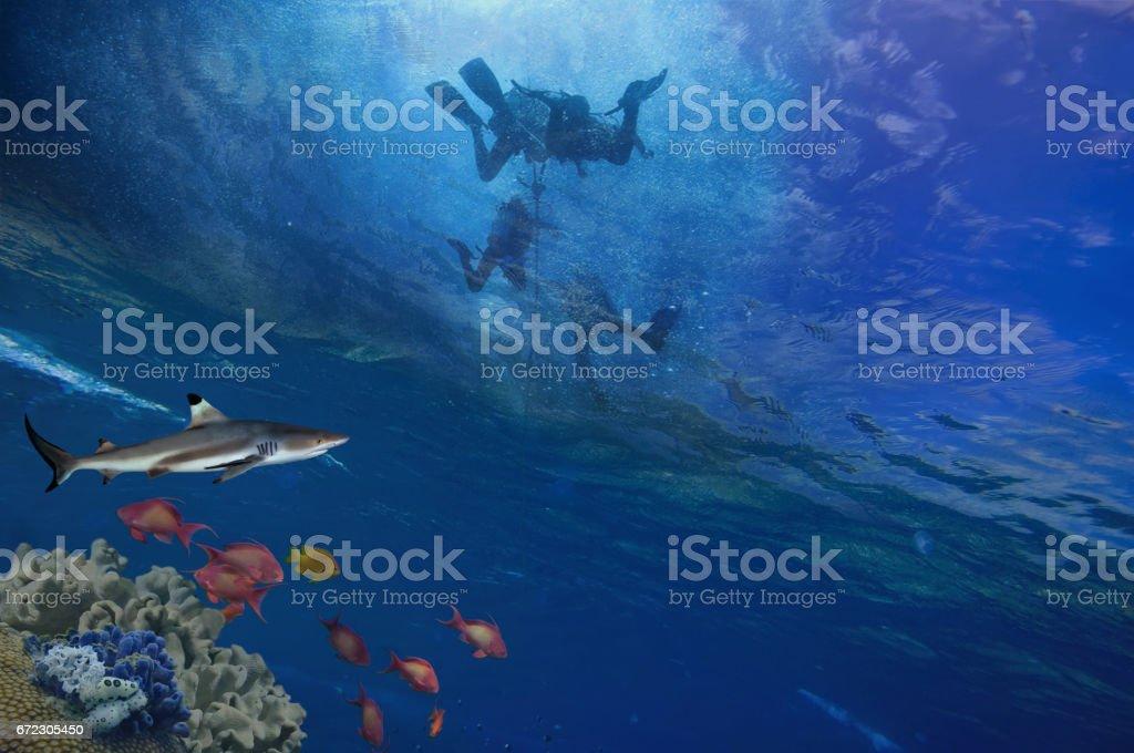 Lemon Sharks and Scuba Divers stock photo