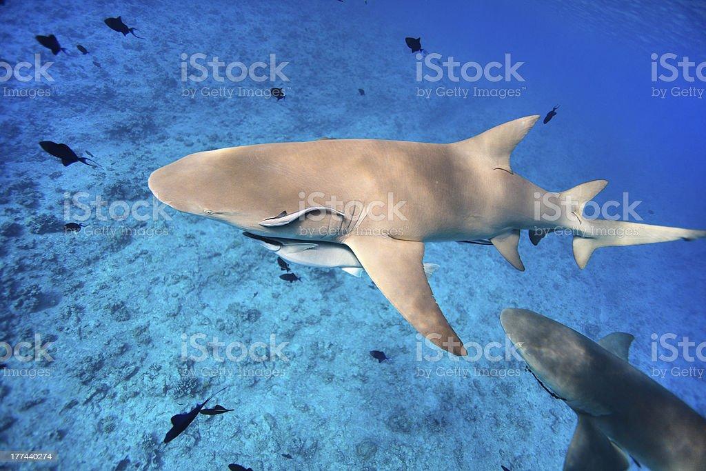 Lemon sharks stock photo