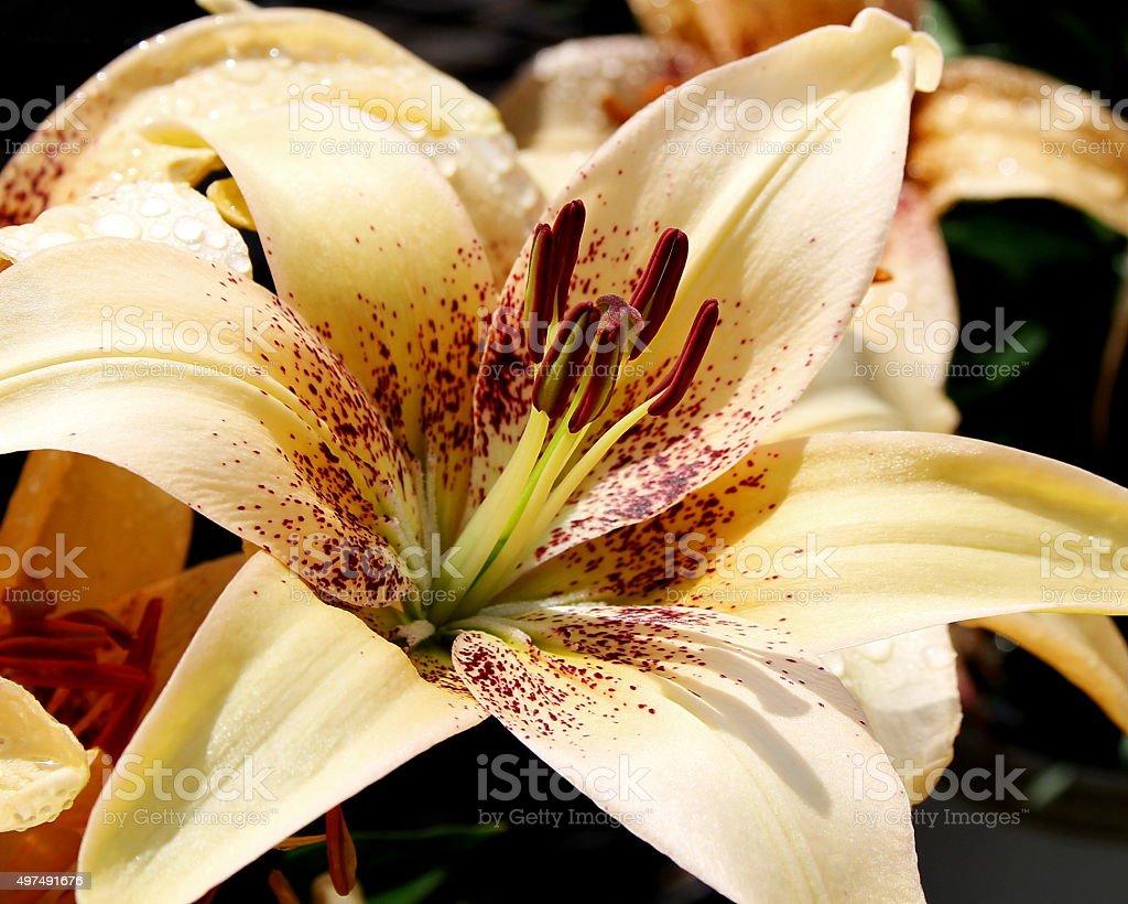 Lemon Stardust Lily stock photo