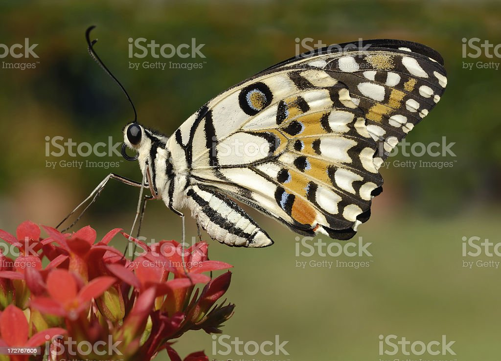 Lemon Swallowtail Butterfly stock photo