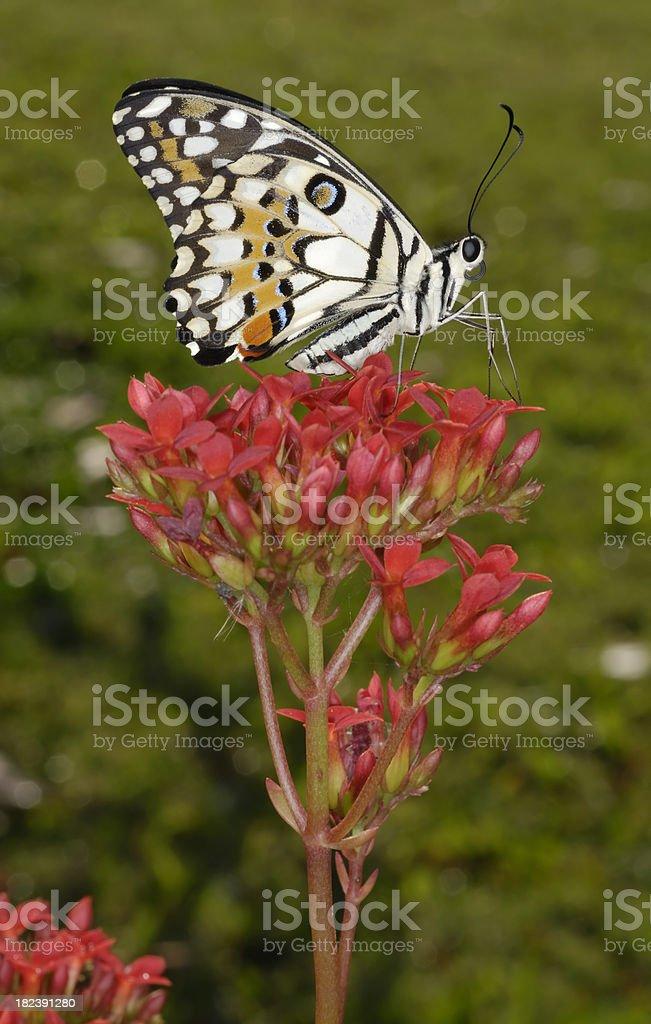 Lemon Swallowtail Butterfly royalty-free stock photo
