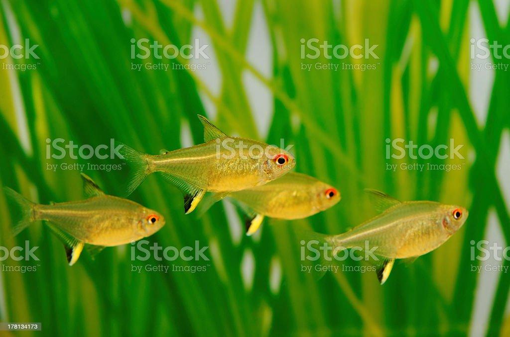 Lemon tetra ( Hyphessobrycon pulchripinnis ) stock photo