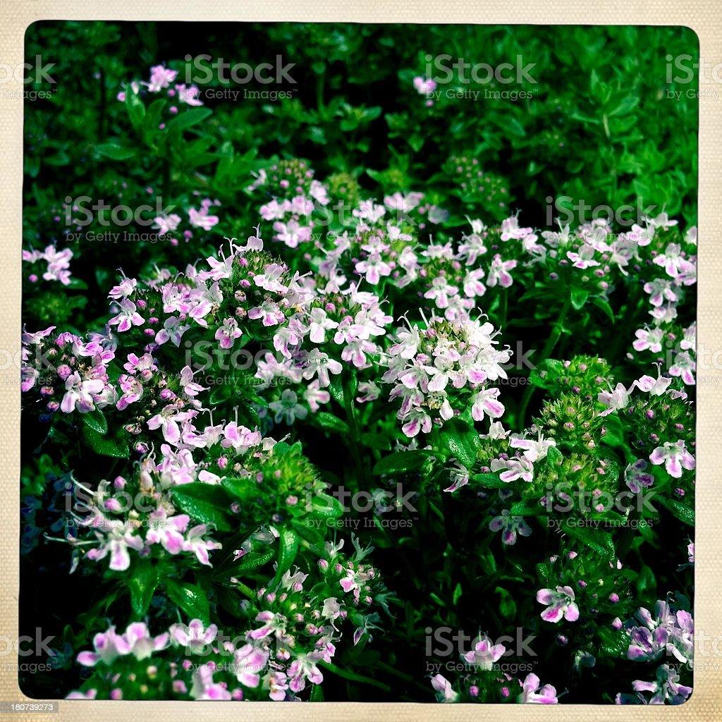 Lemon Thyme Blooming royalty-free stock photo