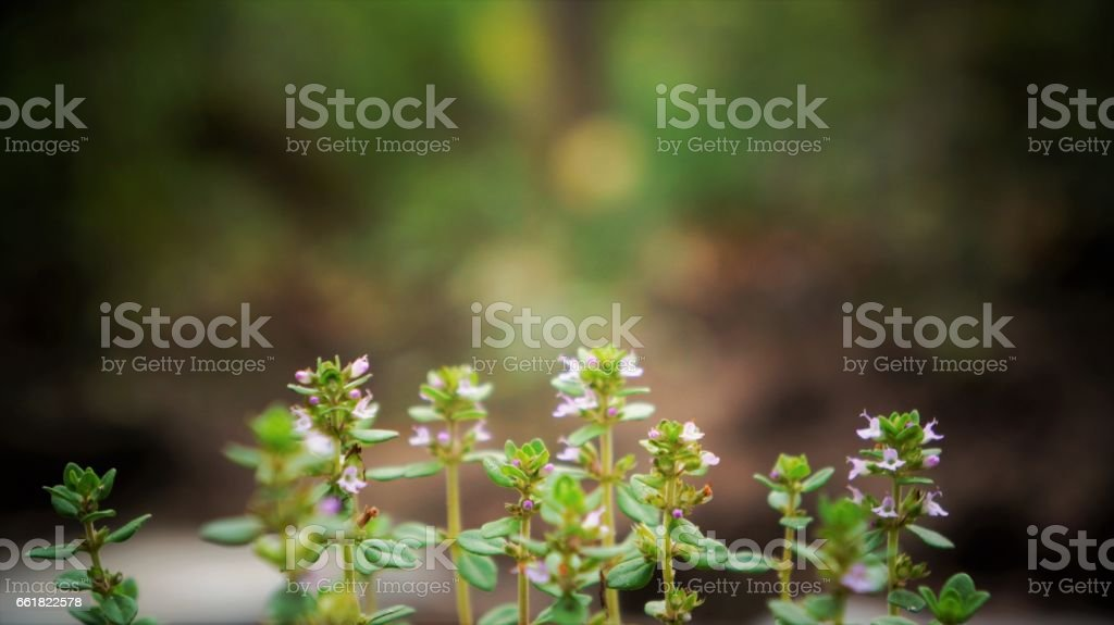 Lemon Thyme Growing in the Garden stock photo