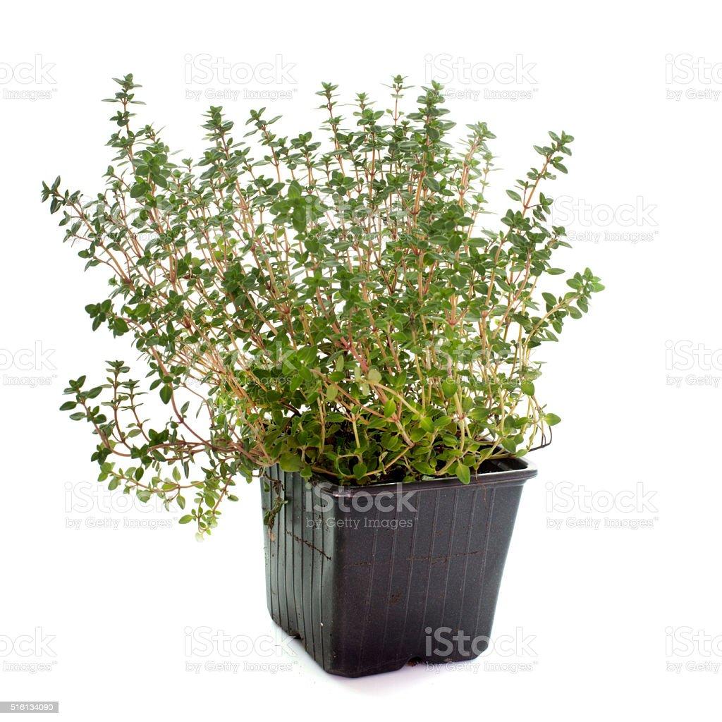 Lemon thyme in pot stock photo
