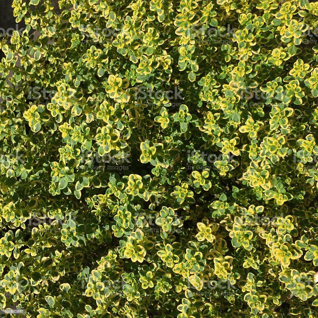 Lemon Thyme stock photo