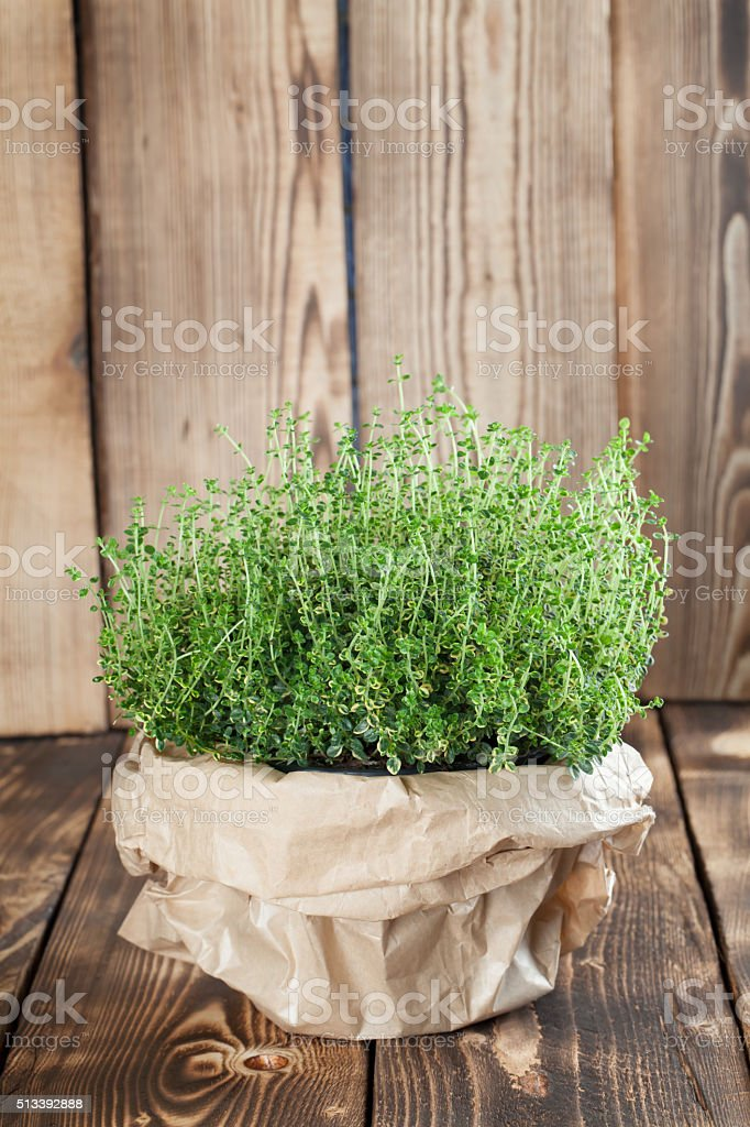 Lemon thyme plant stock photo
