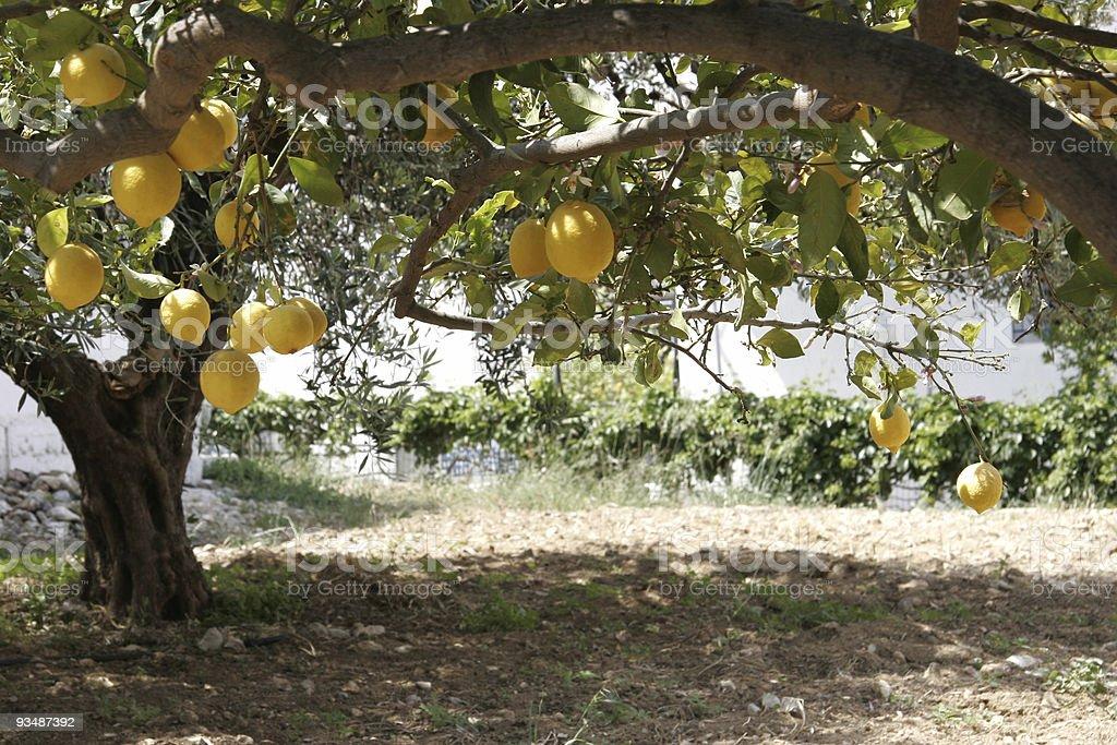 Lemon tree and orchard royalty-free stock photo