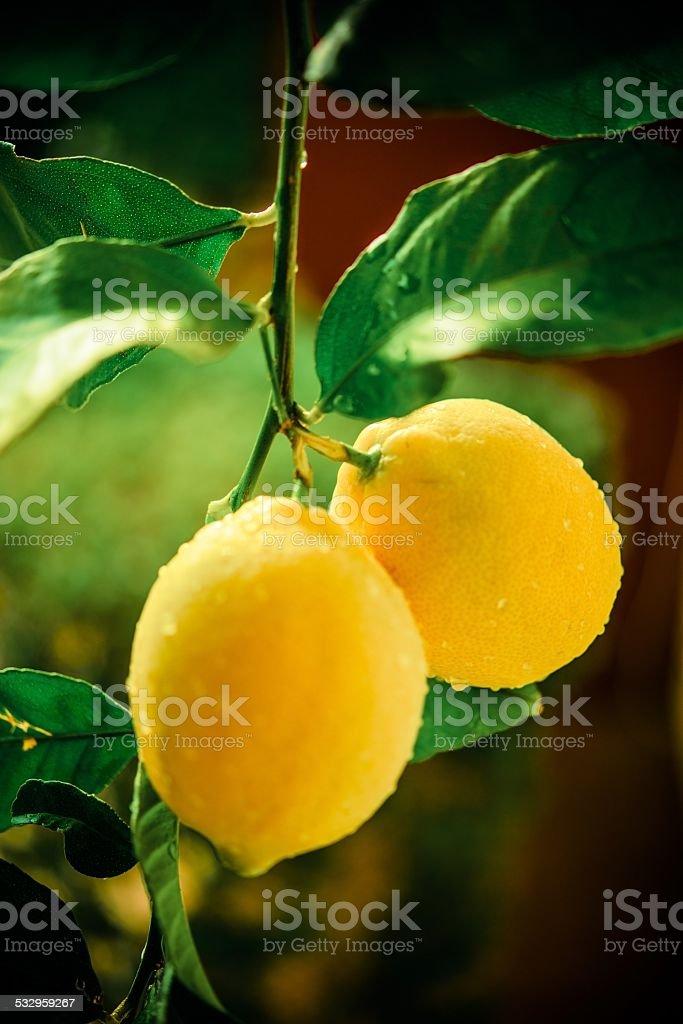 Lemon Tree Branch stock photo