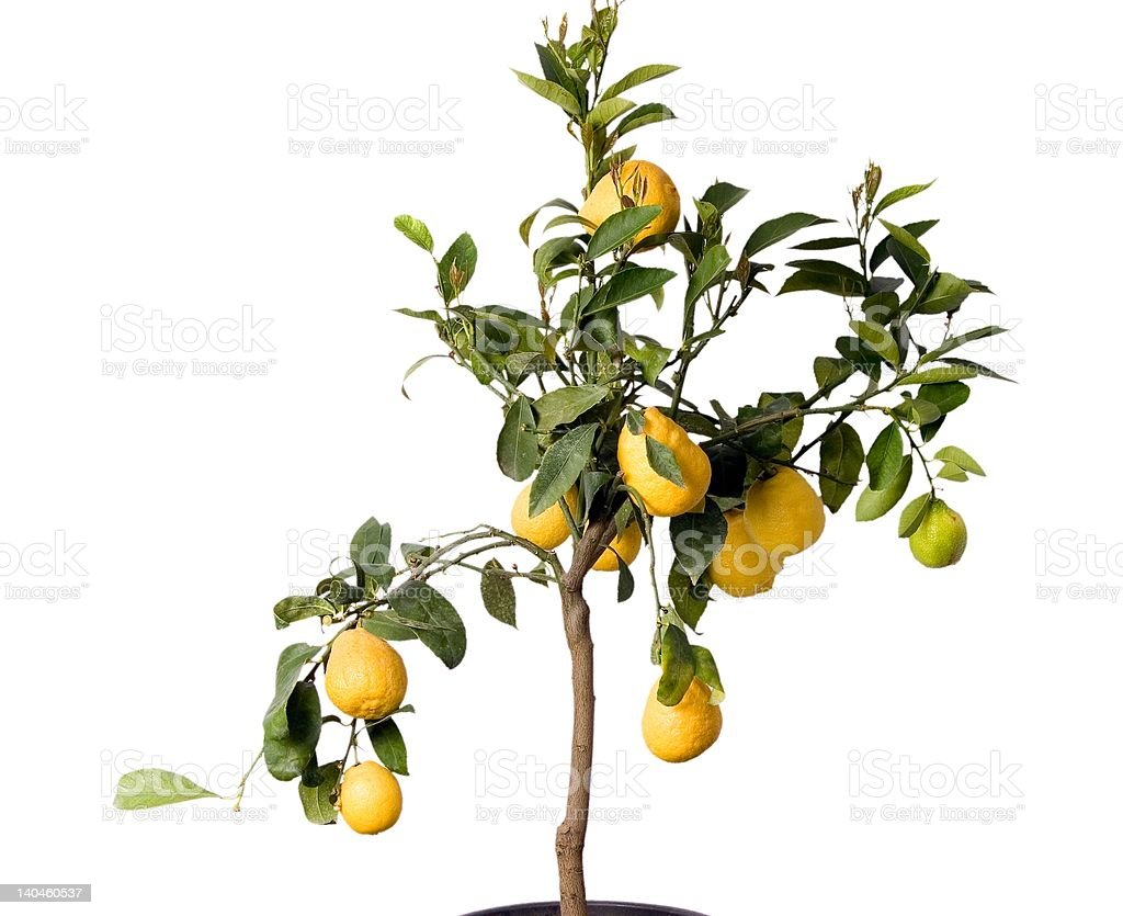 Lemon tree in the pot isolated stock photo