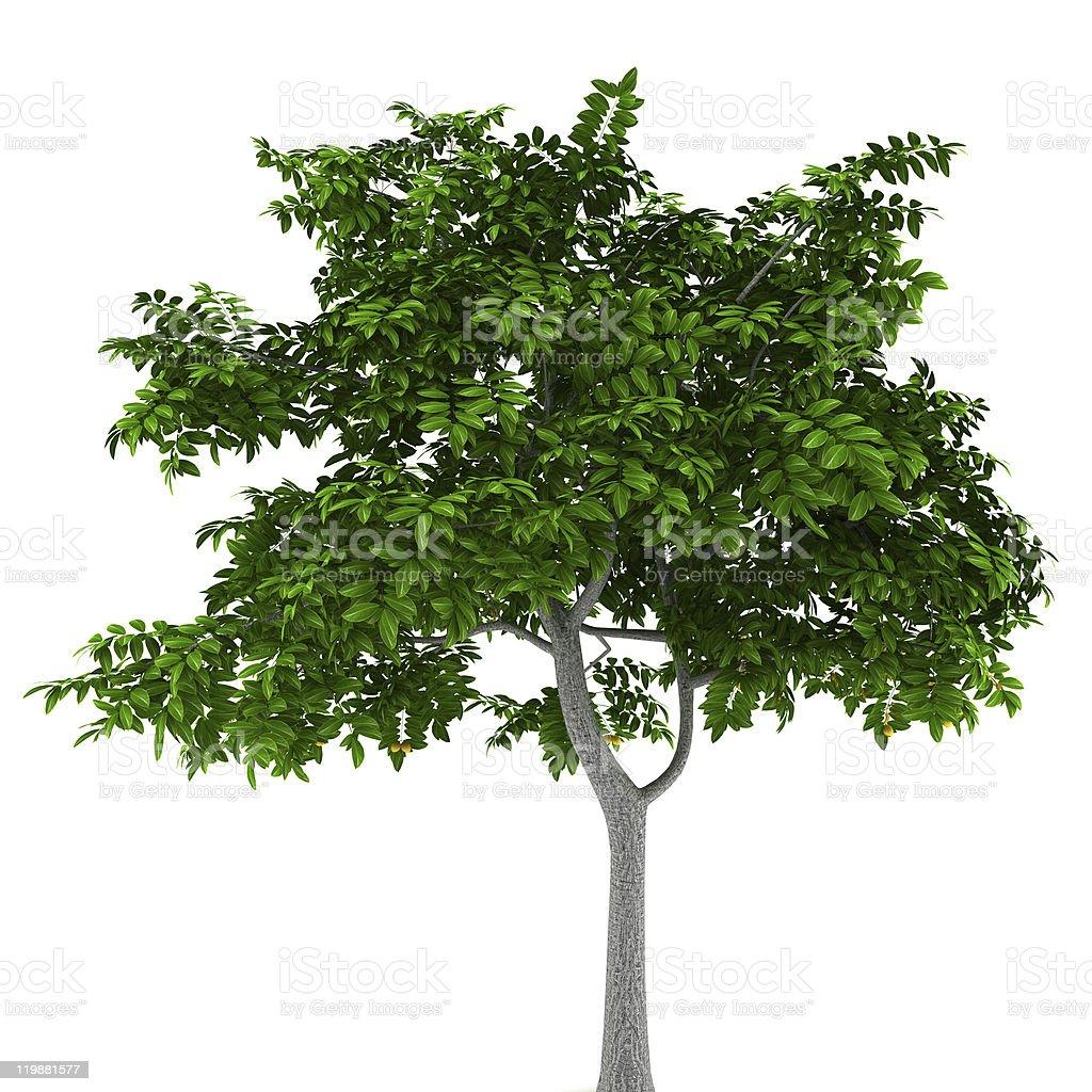 lemon tree isolated on white background stock photo