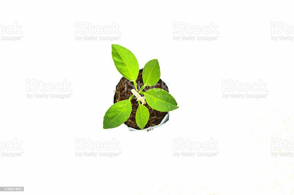 Zitronenbaum Isoliert Lizenzfreies stock-foto