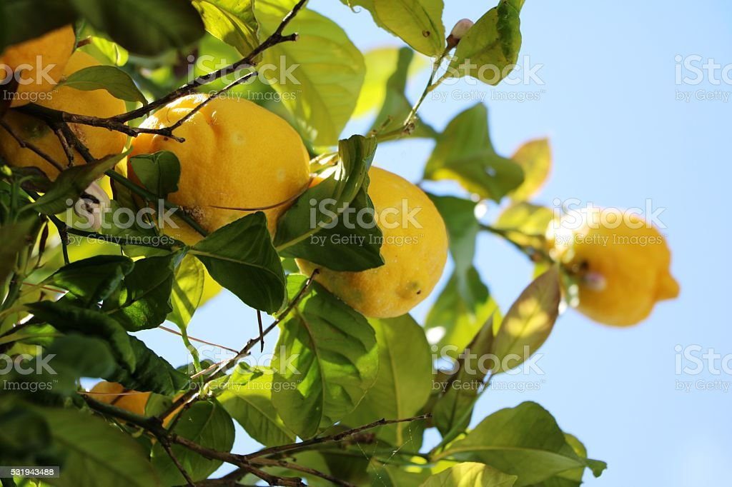 Lemon tree on the Coast in Cinque Terre, Italy stock photo