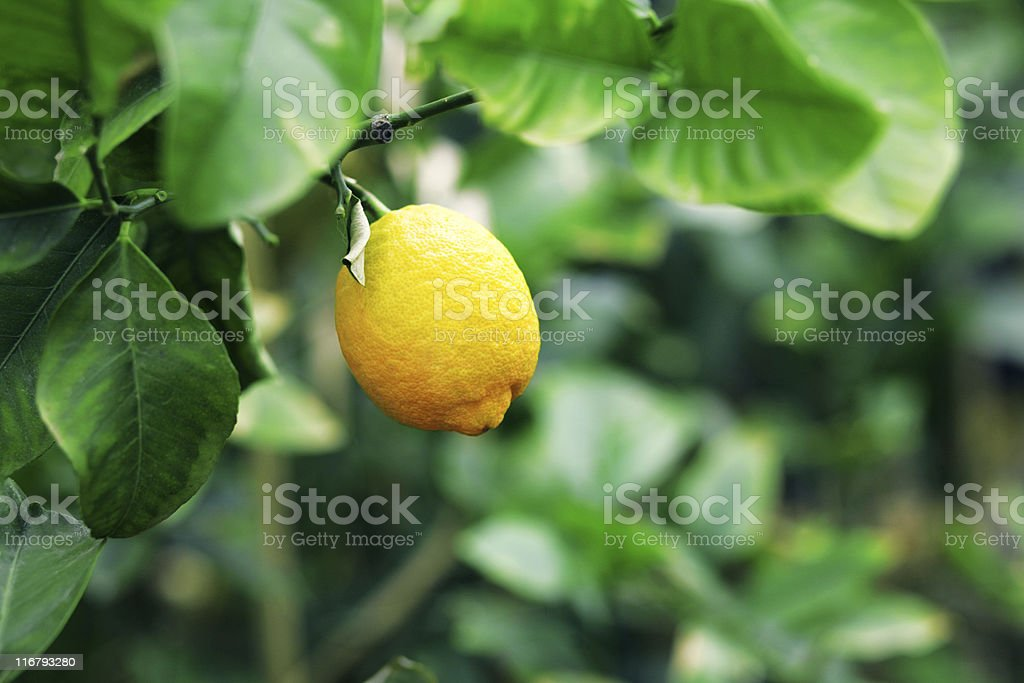 lemon tree royalty-free stock photo