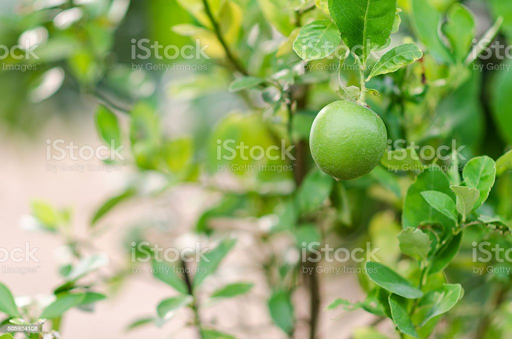 Lemon tree planted in the garden. stock photo