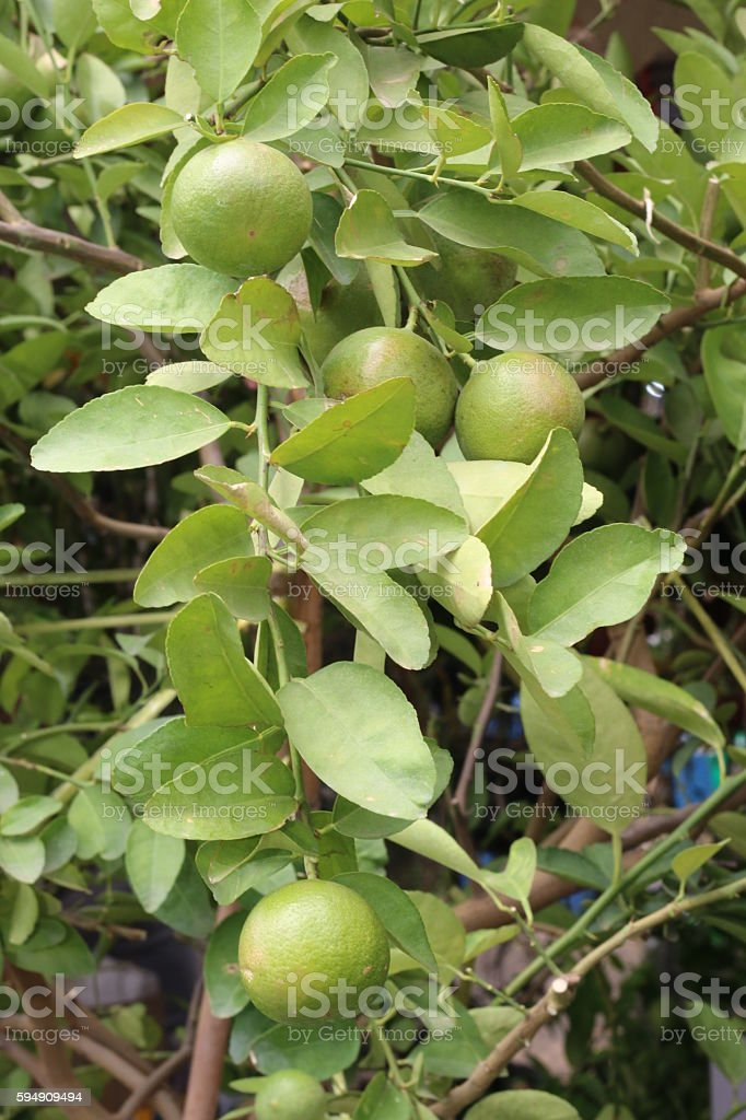 Lemon tree planted in the garden stock photo