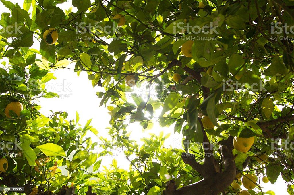 Lemon tree (Citrus × limon) with ripe fruits in sunlight stock photo