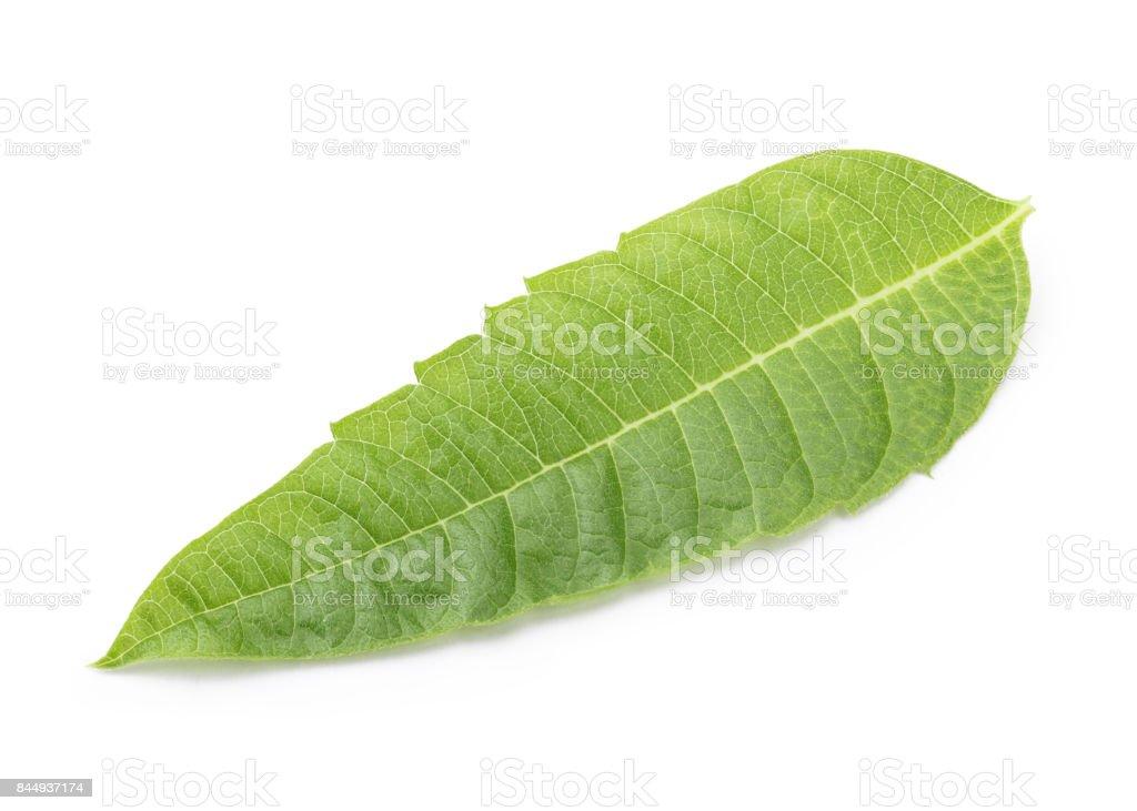Lemon Verbena stock photo