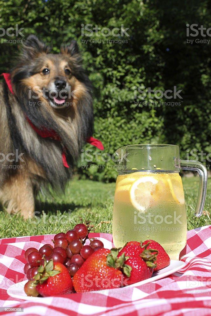 Lemonade picnic with Sheltie royalty-free stock photo