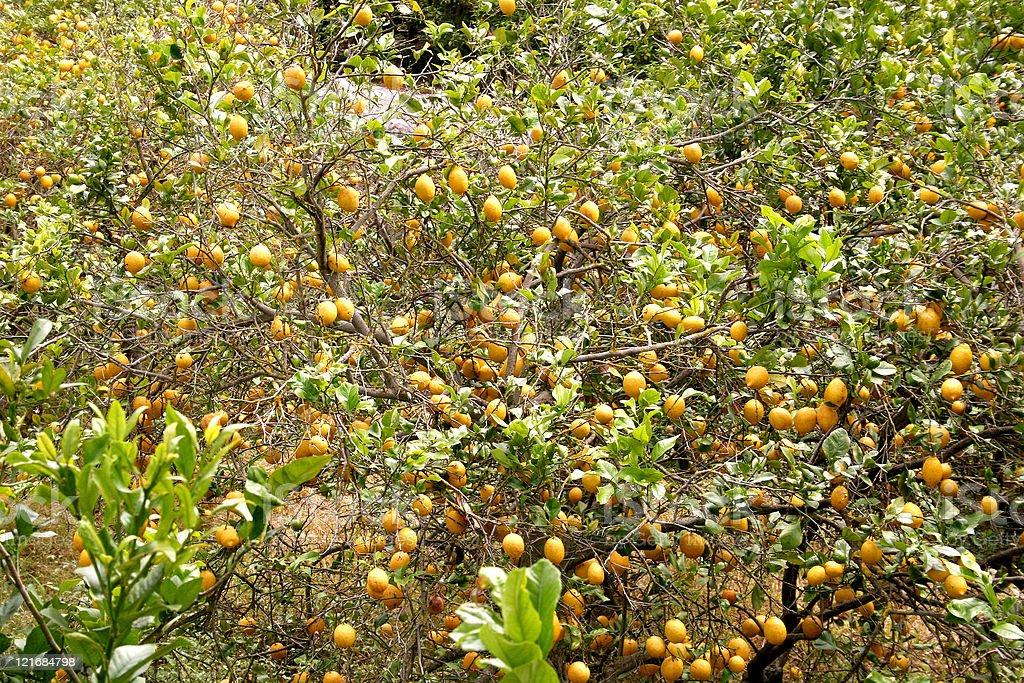 Lemons at a tree royalty-free stock photo