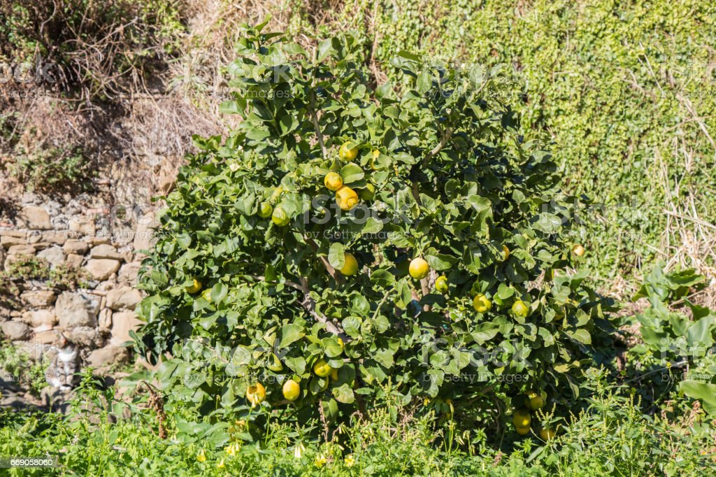 Lemons attached to their plant in January in the Cinque Terre in Liguria, Italy. stock photo