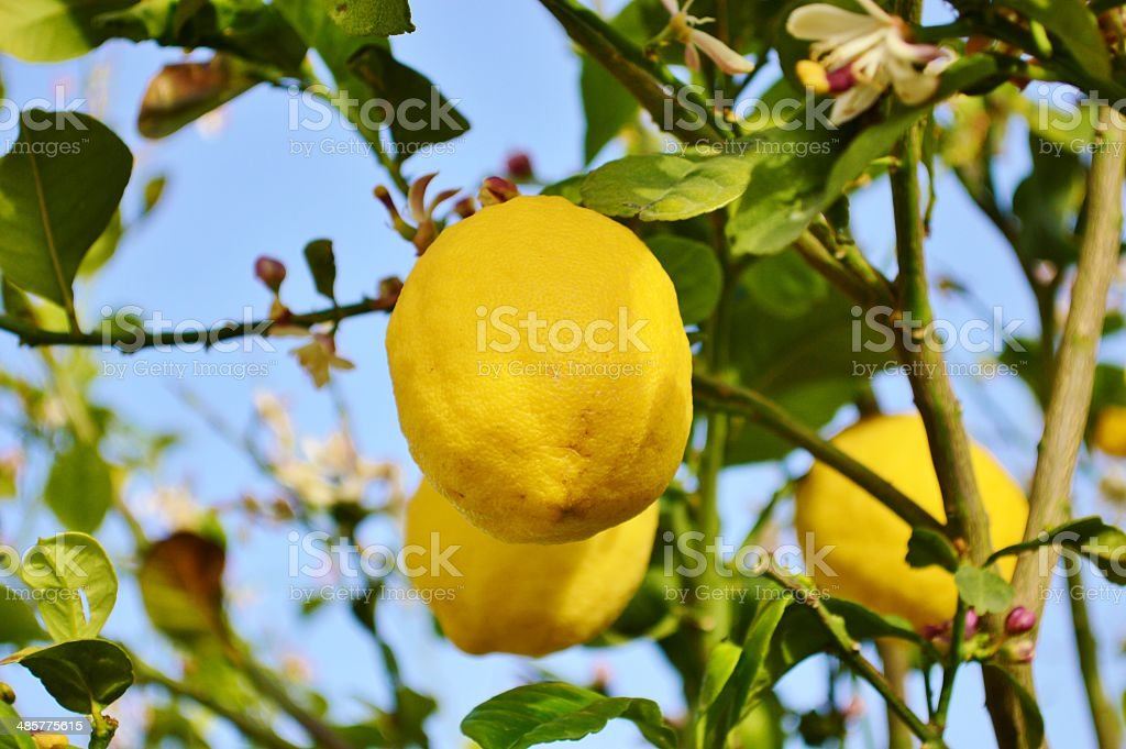 Lemons growing in Cyprus stock photo
