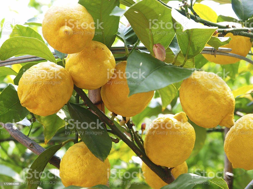 Lemons growing on lemon tree stock photo