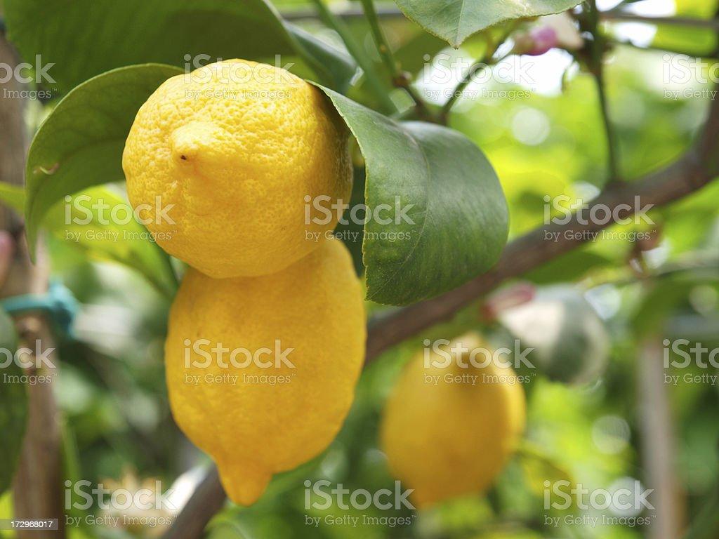 Lemons growing on lemon tree royalty-free stock photo