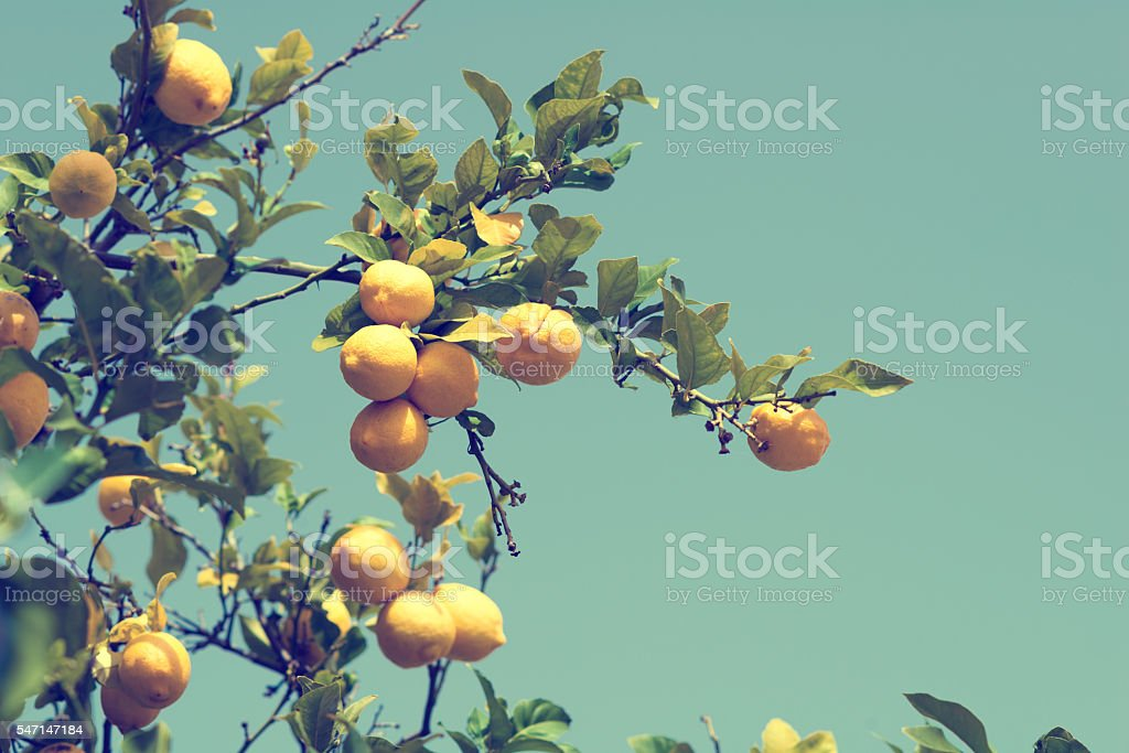 lemons on a lemon tree - cross-processed stock photo