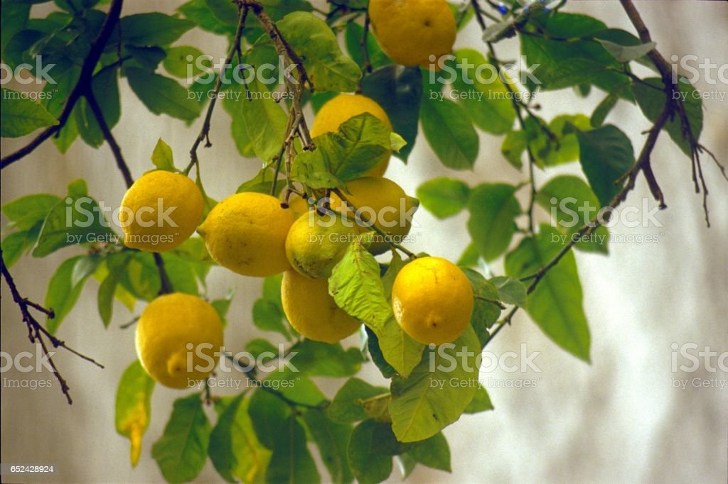 Lemons on a lemon tree stock photo
