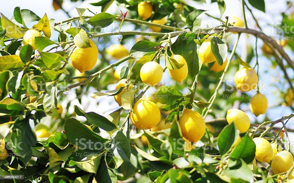 lemons on lemon tree stock photo
