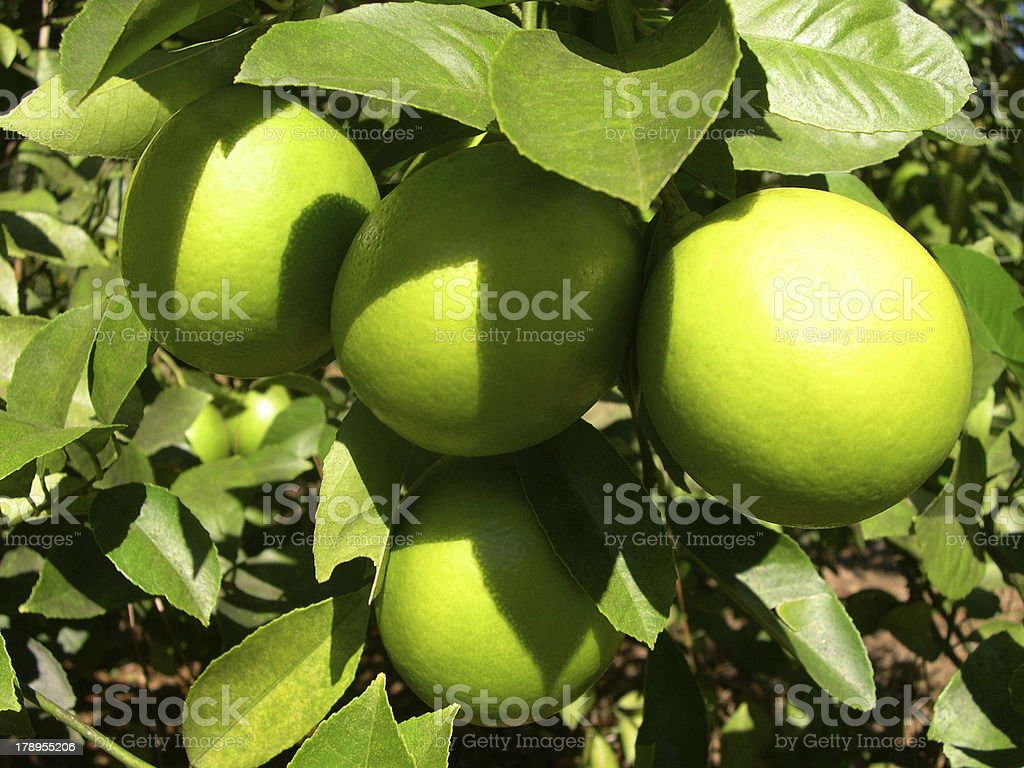 Lemons on Tree royalty-free stock photo