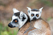 Lemur Catta Mother and Son