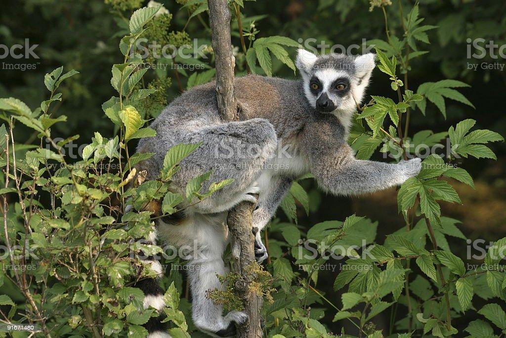 Lemur catta royalty-free stock photo