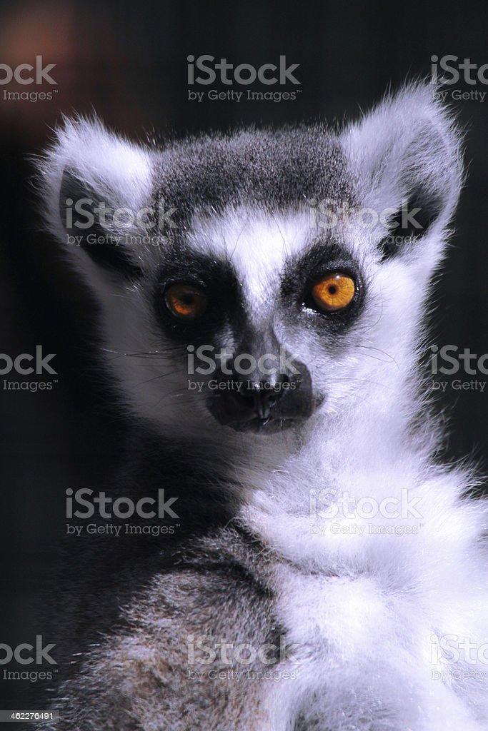 Lemur Closeup stock photo