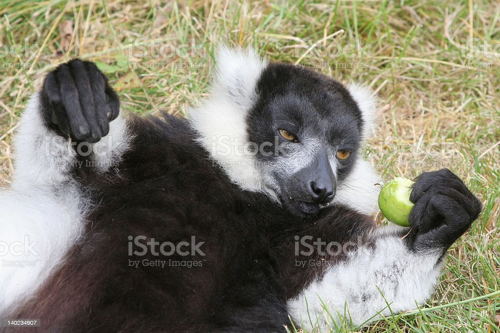 Lemur eating apple stock photo
