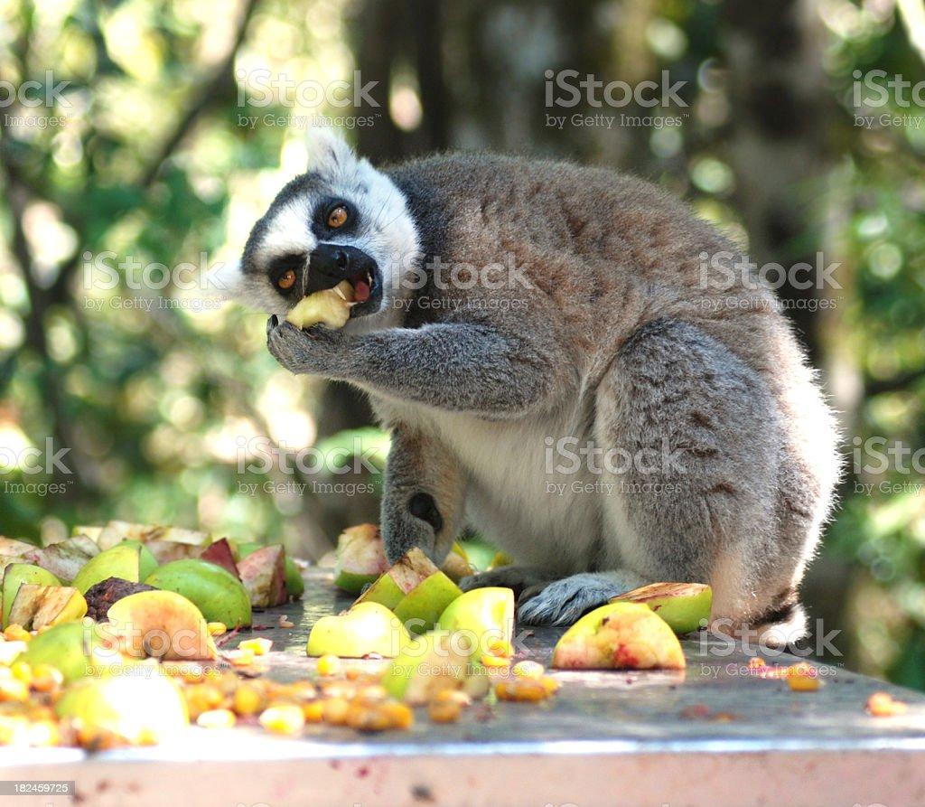 lemur eating fruits royalty-free stock photo