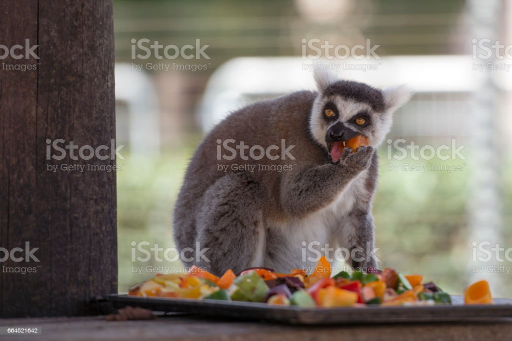 Lemur eating fruits. stock photo